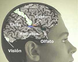 puntos importantes del cerebro
